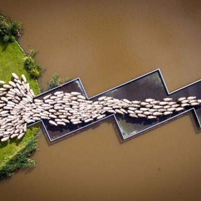<strong>Schaapje over de brug</strong><br><p>Een kudde schapen loopt van Wijnjewoude naar Leeuwarden. - Drachten</p><br><p>Derde prijs - Kunst Cultuur en Entertainment - Enkel - Zilveren Camera 2018</p>