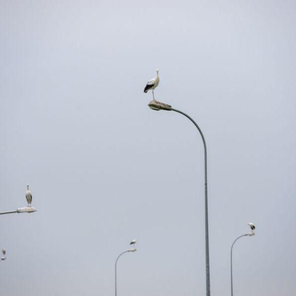 <strong>Ooievaars op lantarenpalen</strong><br><p>Op de ijsbaan in Hommerts zitten elke avond vele ooievaars, de dieren blijven zolang omdat er veel muizen in de omgeving zijn - Hommerts</p>