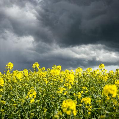 <strong>Koolzaad</strong><br><p>Een koolzaadveld met een regenlucht er boven - Zuidbroek</p>